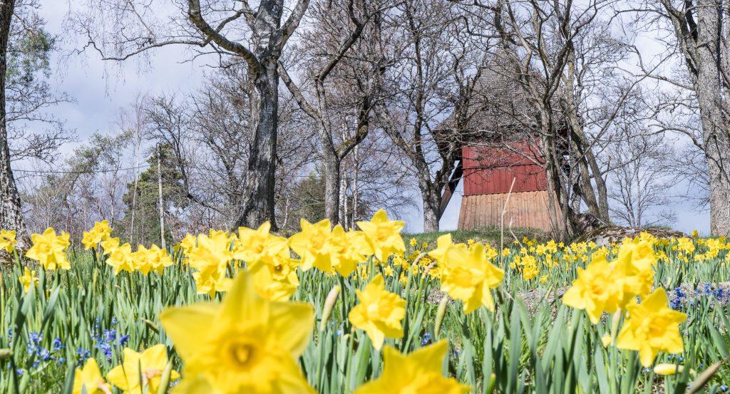Daffodils in Sigtuna